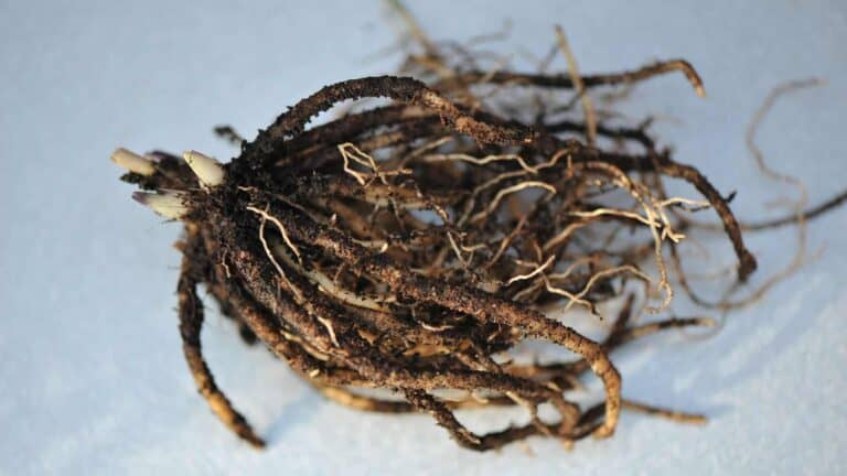 A bare root hosta ready to plant