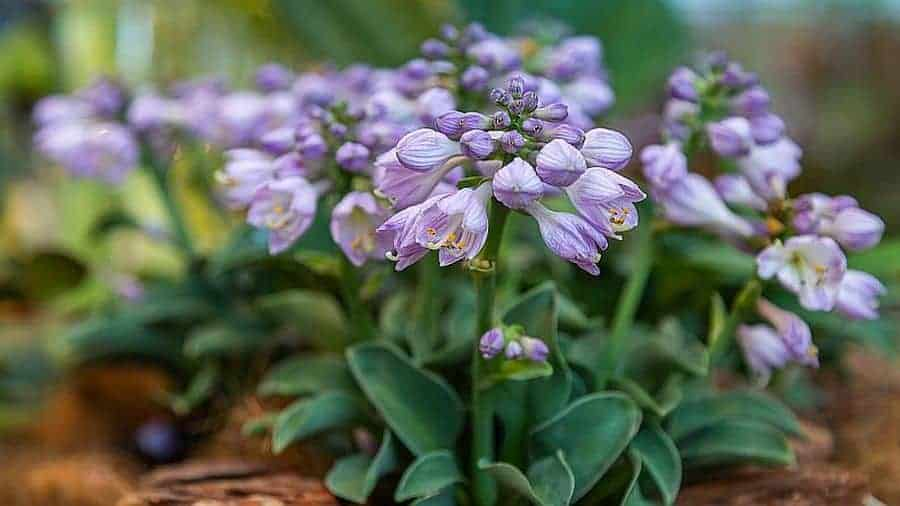 Hosta blue mouse ears covered with flowers