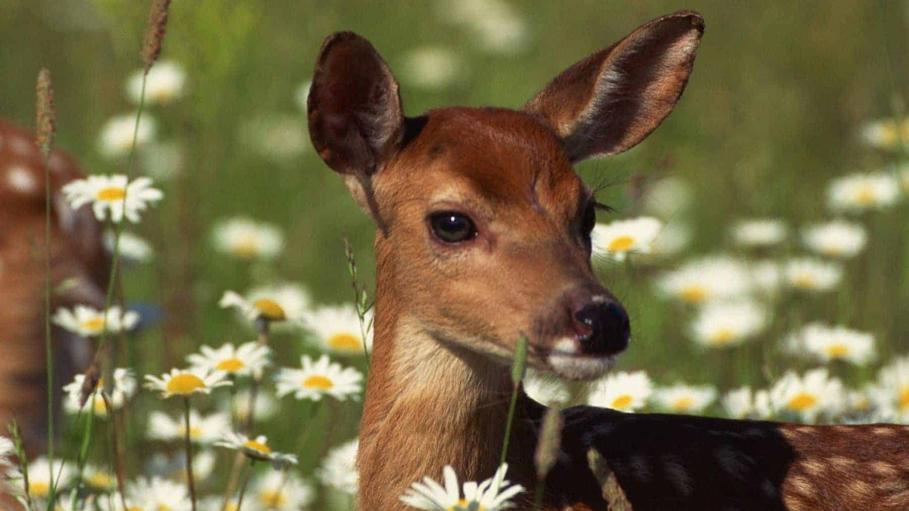Young Deer surrounded by white daisies.