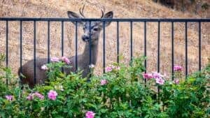 A deer kept out of the garden by a metal fence.